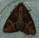 Owlet Moth - Phosphila turbulenta