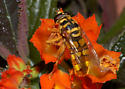 Very cool mimicry - Milesia virginiensis