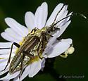 Yellow Velvet Beetle - Stenocorus vestitus - female