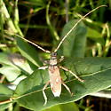 Cerambycid - Eburia distincta