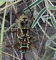 Lance-Tipped Darner (Aeshna constricta) - Aeshna constricta - female