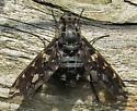 A fly species? - Xenox tigrinus