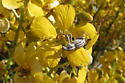 Desert Broad nosed Weevil?