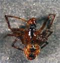 voucher images - Tidarren sisyphoides - male
