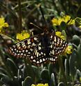 Checkerspot? - Euphydryas anicia--c