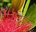Phoebis agarithe - female