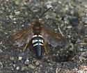 Some type of wasp? - Sphecius speciosus