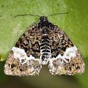 Owlet Moth, Annaphila cf casta - Annaphila diva
