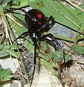 Latrodectus in garage - Latrodectus variolus - female