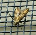 Tiny moth - Schreckensteinia festaliella