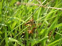 Robber Fly with Prey - Diogmites salutans
