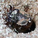Tiger beetle larva - Tetracha