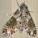 Pawpaw Sphinx Moth - Hodges #7784 - Dolba hyloeus - female