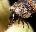 Larva ID - Neochlamisus