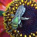 Agapostemon-female on Helenium - Agapostemon virescens - female