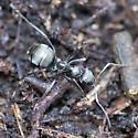 Carpenter Ant Worker - Formica