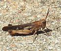 grasshopper - Chortophaga viridifasciata - male