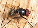 fly - Hydrotaea ignava - male