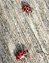 Lady Beetles - Coleomegilla maculata