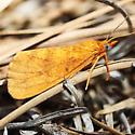 Unknown Moth - Virbia