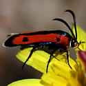 Moth - Orange & Black wings w/ two black spots - Calasesia coccinea