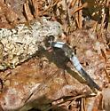 Chalk-fronted Corporal - Ladona julia - male