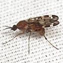 Wood Gnat - Sylvicola alternatus - female