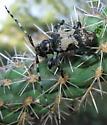 hour glass backed beetle - Coenopoeus palmeri