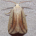 9818 Feeble Grass Moth - Amolita fessa