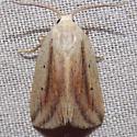 9818 Feeble Grass Moth - Amolita fessa