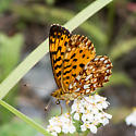 Unknown Butterfly - Boloria selene