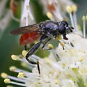 Red-tailed flower fly - Xylota bicolor