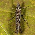 Unknown Caddisfly - Limnephilus