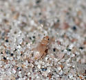 Tiny Golden Beetle - Amblyderus pallens