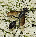 Unknown Hymenoptera - Isodontia