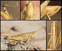 Striped Slant-face Grasshopper - Amphitornus coloradus - male