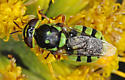 Hover fly - Hedriodiscus binotatus - female