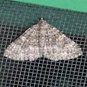 Screen Door Moth - Archirhoe neomexicana