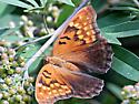 Is this a tawny emperor? - Asterocampa clyton - female