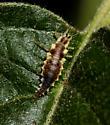 insect - Chrysoperla rufilabris