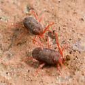 Acariformes ? - Perhaps Erythraeidae ? - Balaustium