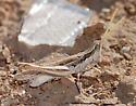 Western spotted-winged grasshopper - Cordillacris occipitalis - male