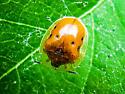 beetle - Charidotella sexpunctata