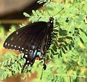 Black swallowtail butterfly on Caesalpinia pulcherrima leaves - Papilio polyxenes