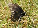 brown swallowtail, yellow spots - Battus philenor