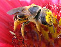 bee on flower - Halictus poeyi