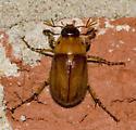 ID please - Cyclocephala borealis