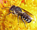 Bee - Megachile campanulae