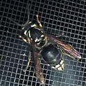 Bald-faced Hornet (Dolichovespula maculata) - Dolichovespula maculata