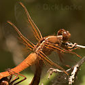 Red -Orange Dragonflies Mating from LBJ Wildflower Park - Libellula croceipennis - male - female